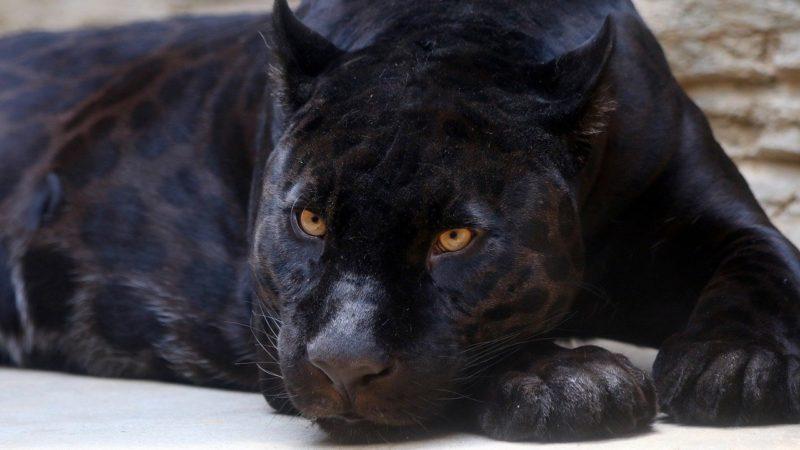 Pantera nera avvistata nel Sannio